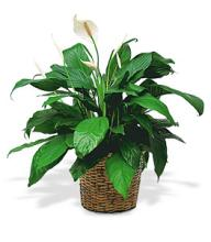 Medium Peace Lilly