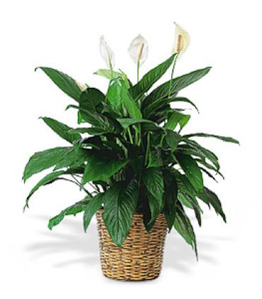 Large Peace Lilly/Spathiphyllum