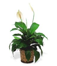 Small Peace Lilly